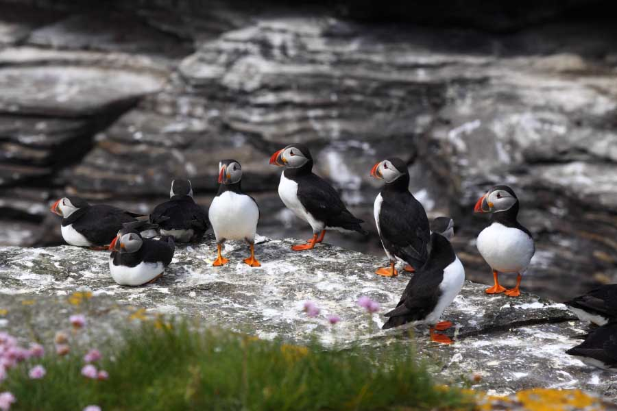 Puffins, Muckle Skerry
